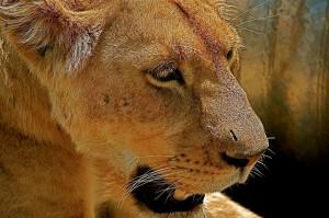 Climb Safari Lion